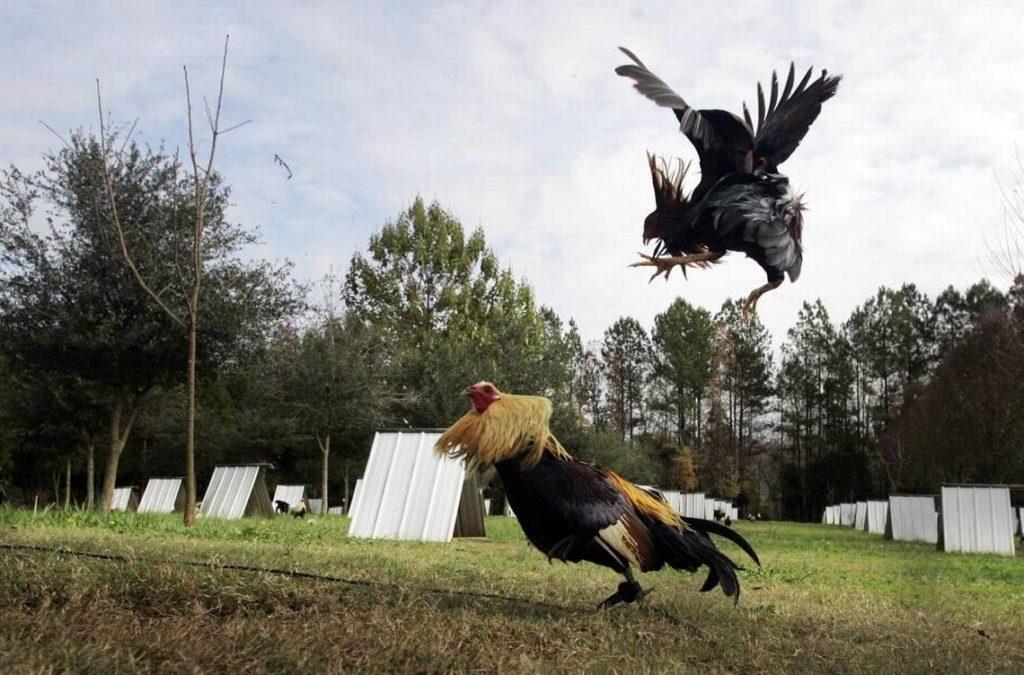Memilih ayam jagoan