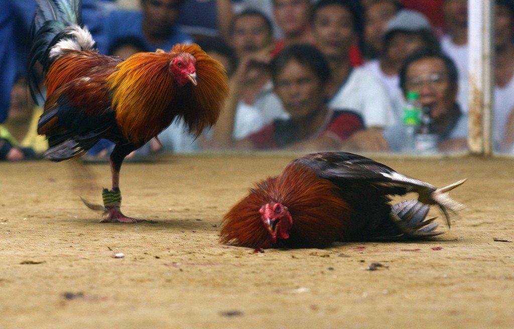 Cara Memilih Situs Sabung Ayam S128 yang Aman