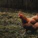 Tips untuk bermain Judi s128 sabung ayam